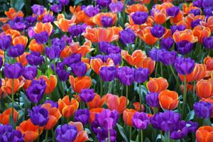 Tulips Bright by MayEbony