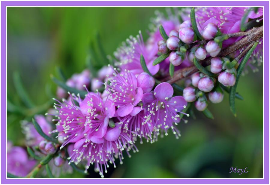 Pink Kunzea by MayEbony