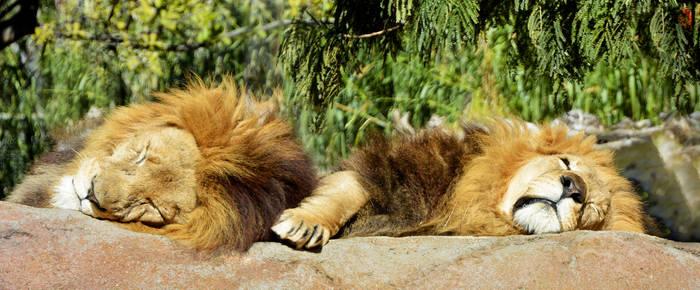 Lion Siesta