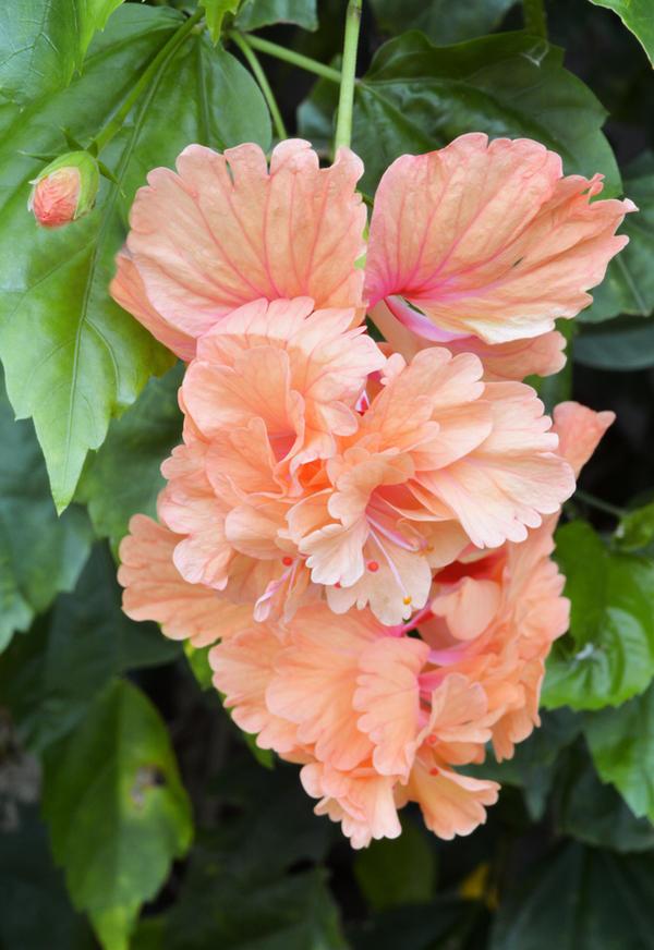 Triple hibiscus- Antigua | Little island, Hibiscus, Antigua |Triple Hibiscus