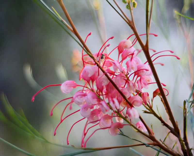 Pink Grevillea by MayEbony