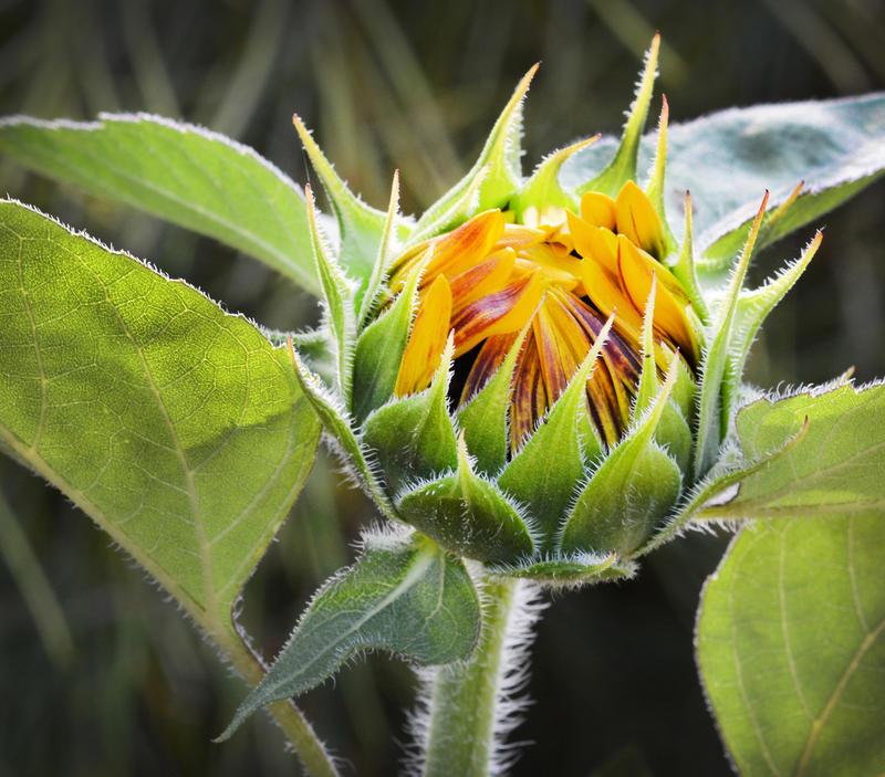 Julie Ann Brady : Blog On: Celebrate the Sunflower Buds ...  |Sunflower Bud