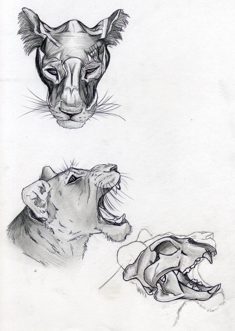 Lion Anatomy - Head muscle and Skull by DigitalWolfCreations on ...