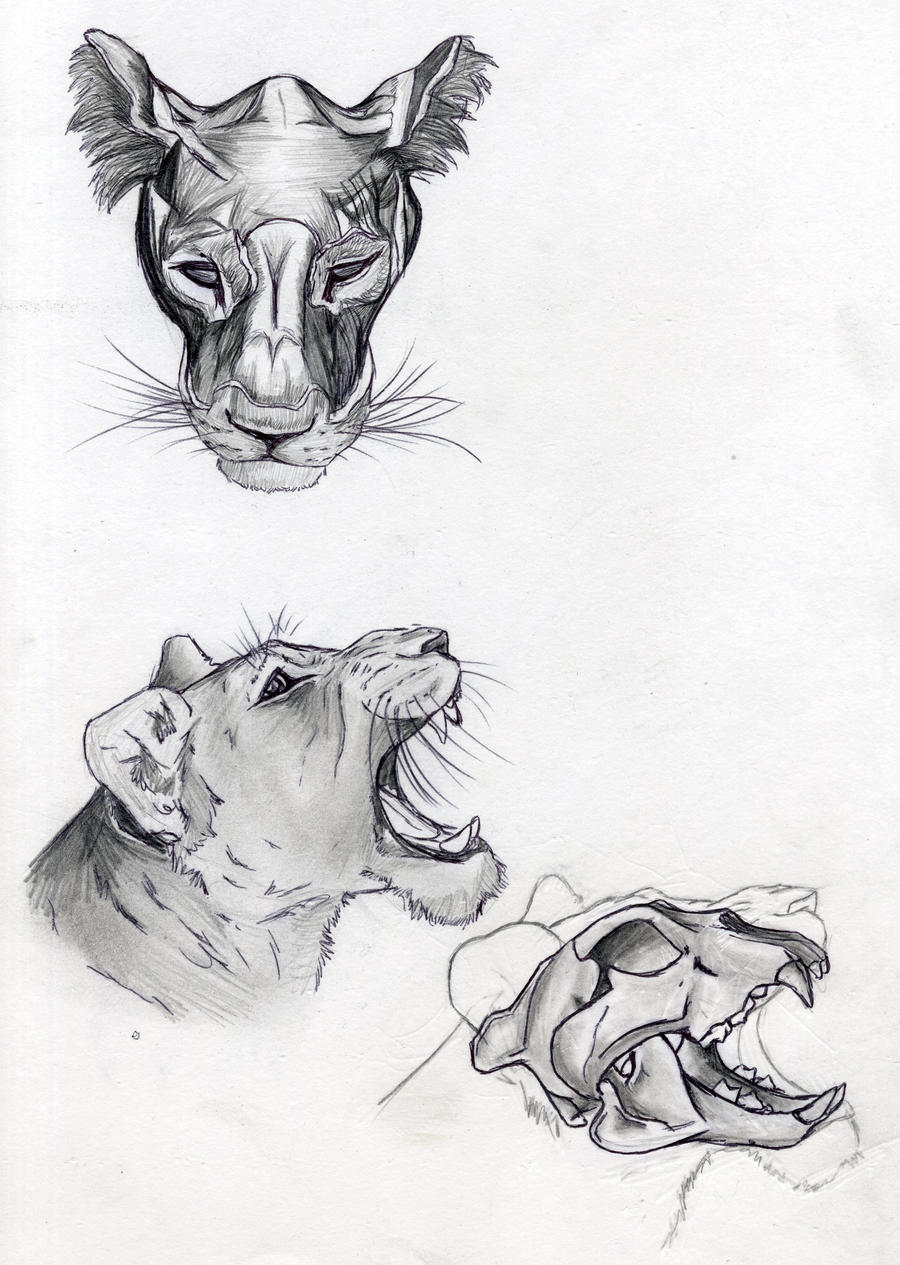 Lion Anatomy Head Muscle And Skull By Digitalwolfcreations On