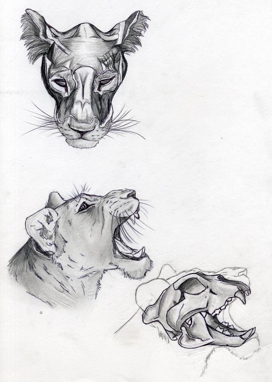 Lion Skull Anatomy