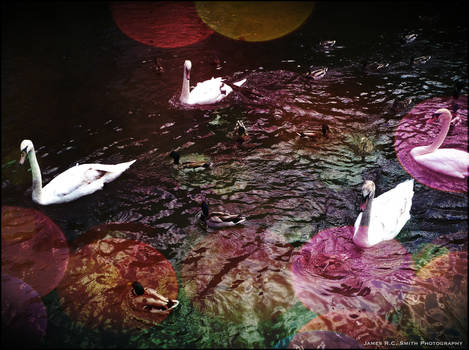 Lomo Swans