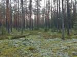 Latvia forest 7