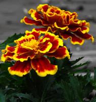 marigold by HippieVan57