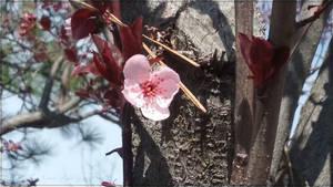 Hana no Sakura by AmehanaRainStarDrago