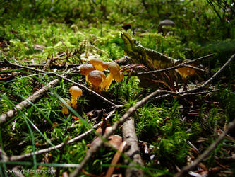 Champignon 2 by jypdesign