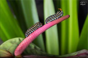 Oruga Papilio Defensa by legolassx