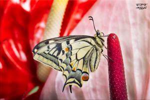 Papilio Machaon 11 ( Mariposa ) by legolassx