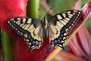 Papilio machaon 12 by legolassx