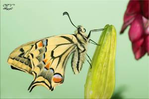 Papilio macaon 13 by legolassx