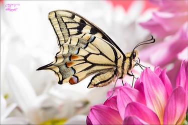 Papilio Macaon 15 by legolassx