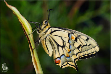 Papilio machaon 14