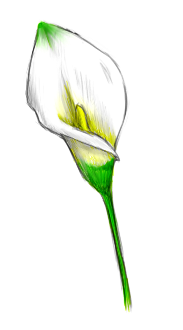 Calla lily with color by SengRyuCalla Lily Flower Drawings