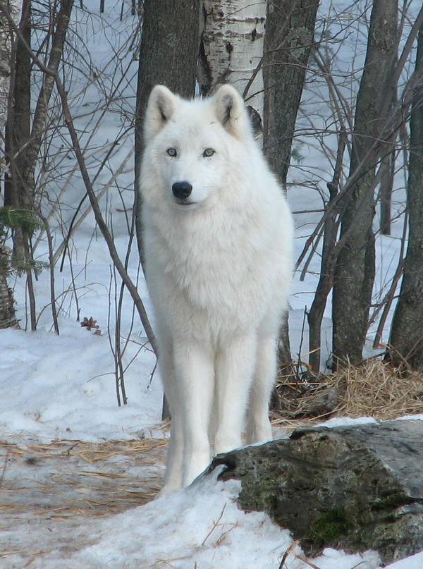White Wolf by person789
