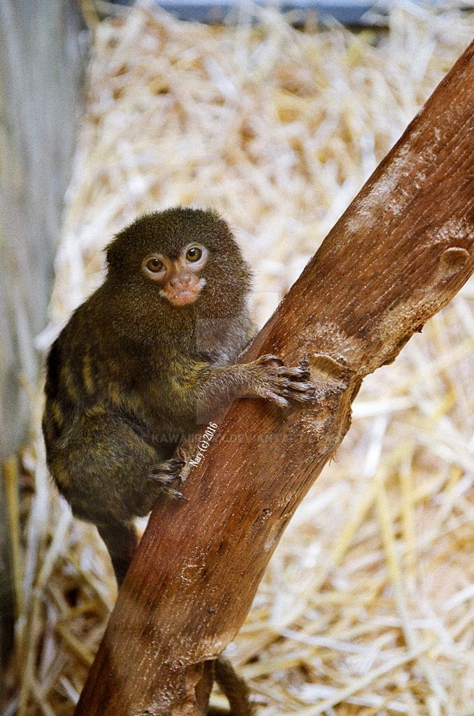 Marmoset by KawaiiRoxX