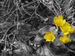 Schluchsee Dotterblume Schwarz-weiss