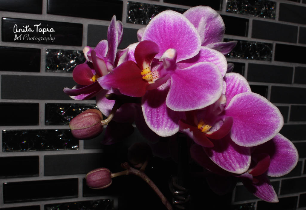 Orchid by Amarantheans