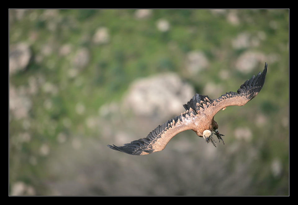 Griffon Vulture II by invisiblewl