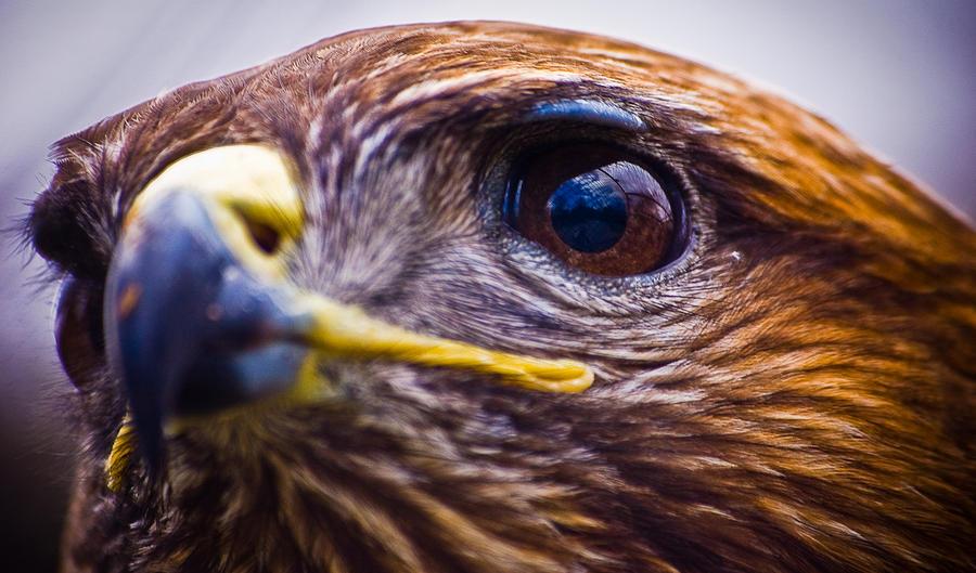 Steppe Eagle by ValdesBG