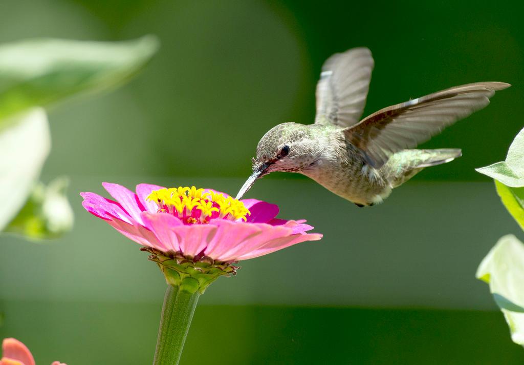 Anna's hummingbird by DanieleG