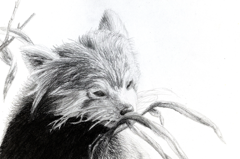 Red Panda Drawing In Pencil