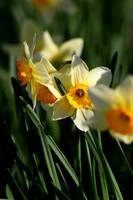 Daffodils II by Freya7