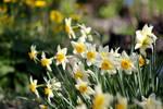 Daffodils V