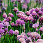 Blooming alium
