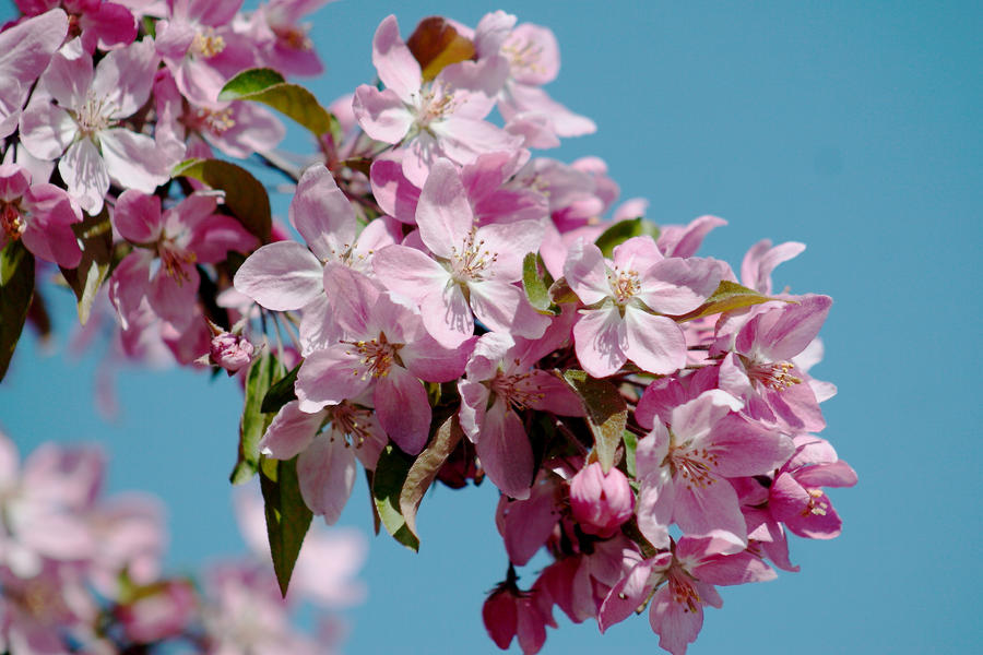 Blossom III by Freya7