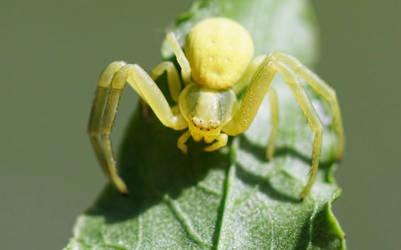 Crabby Spider by SamVN