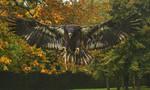 Hartley the Bald Eagle