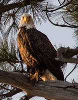 Bald Eagle130525-46 by MartinGollery
