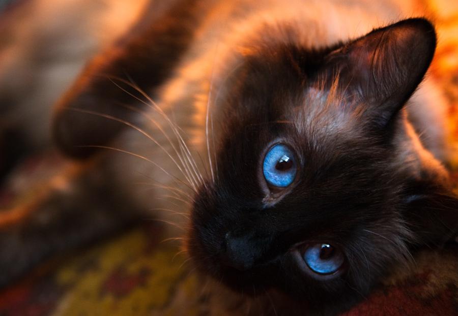 Dark Brown Cat Related Keywords & Suggestions - Dark Brown Cat ...