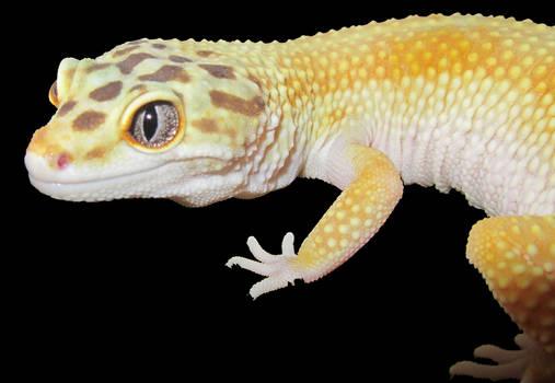 gecko one