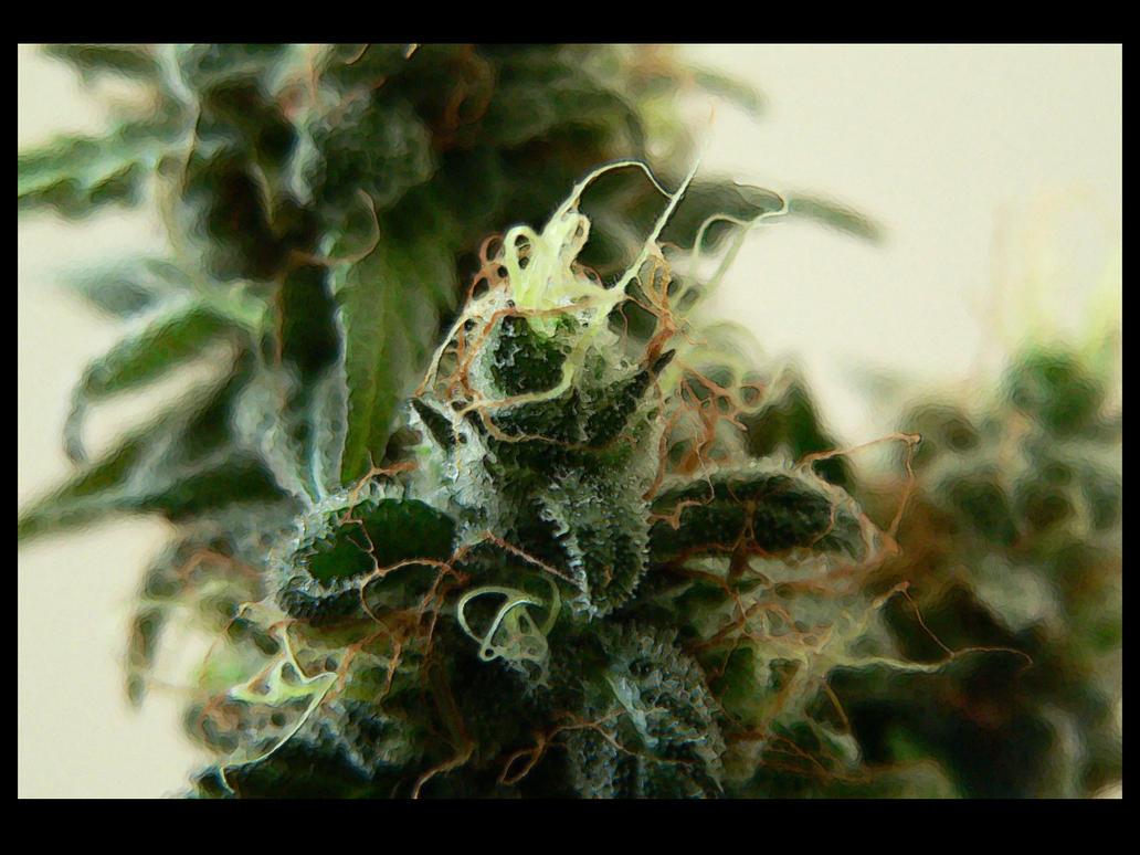 Feminized Marijuana Seeds