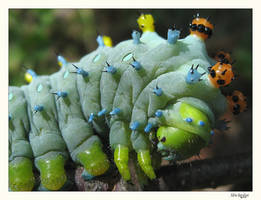 Cecropia Moth Caterpillar by AdrianaHuffle