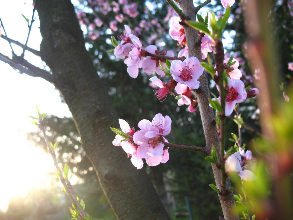 Peach Tree Blossom by pilka3331 on DeviantArt
