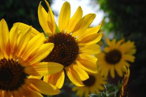 SunFlower by ZeeshanTejani