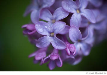 Lilac Rain Shower by butterfly36rs