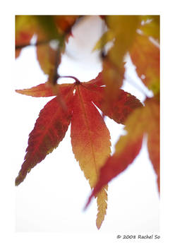 Cherry Maple Autumn