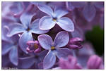 The Lilac Files XV