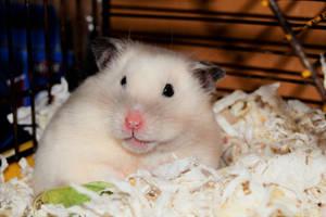 Elsa (Syrian hamster)