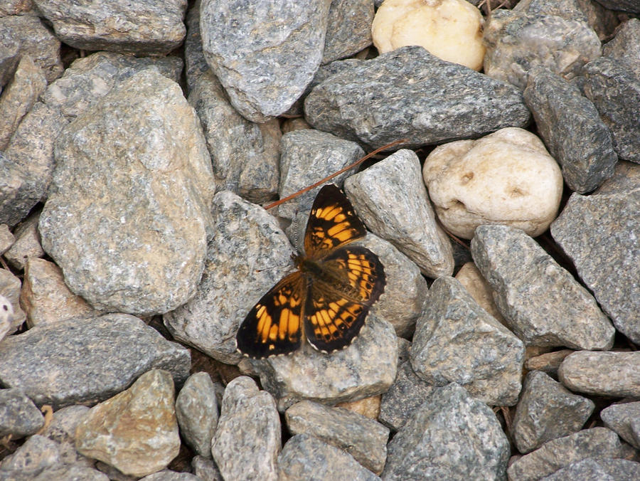 Butterfly on Rocks by Fully-Stocked