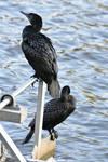 Cormorant Birds