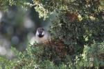 House Bird In Cypress Tree
