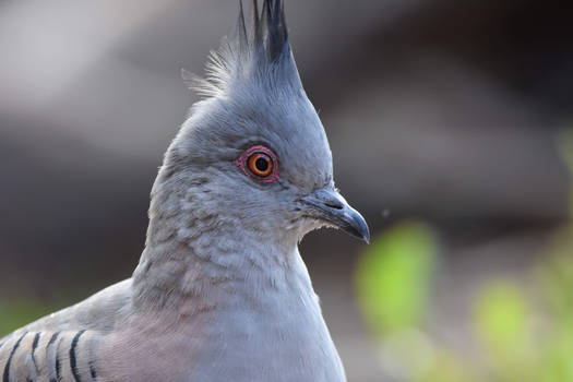 The Eye Of The Crested Pigeon